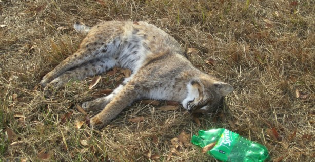 bobcat, outside Bennettsville