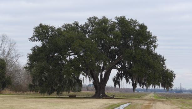 tree lousiana 2014